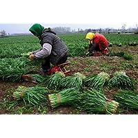 Shopmeeko 100 unids Plantas de puerro Crecimiento perenne Rã¡Pido cebollino Raãz Balcã³n Plantas Vegetales