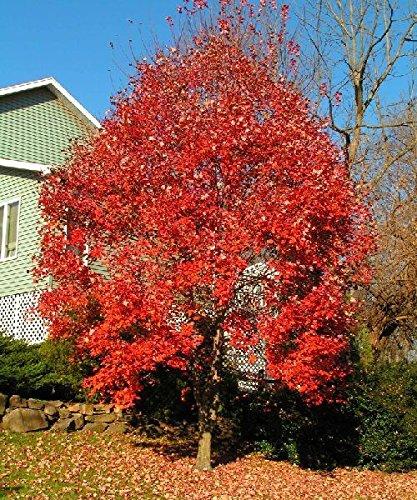 Semi Red Acero, 50 Acer Rubrum Semi