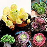Potato001 100Pcs Mountain semi della Rosa Aeonium Greenovia succulente Fiori Garden Decor