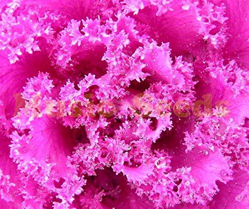 1bag = 100pcs vente chaude japonais graines de collard bonsaï OGM NO graines de légumes chou fleur maison & usine de cerise de jardin