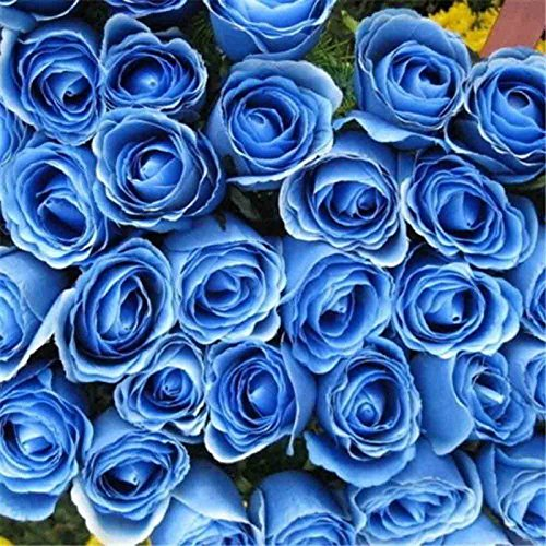 50 graines rares arc-en-graines Rose Fleurs d'amant coloré jardin des plantes rares Rainbow Rose Graines de fleurs bleu 2017
