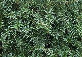Immergrüne Berberitze im Topf/Container Größe 40 bis 50 cm