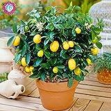 SwansGreen 40pcs Fruit Trees Planted Seeds Dwarf Organic Sweet Kumquat Seeds Orange Fruit potted Seeds Tangerine Citrus garden Bonsai seeds