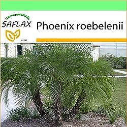 SAFLAX - Garden to Go - Zwerg - Dattelpalme - 25 Samen - Phoenix roebelenii
