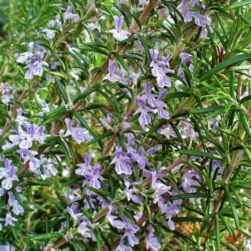 2 x Rosmarin 10-15 cm Rosmarinus officinalis Arp Winterharte und robusteste Sorte