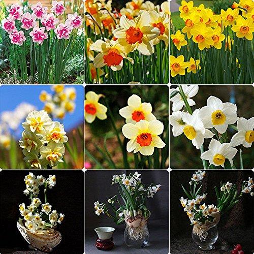 agrobits 400pcs i colori misti narciso bulbi profumato narciso pastello primavera fiore pianta