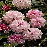 Rhododendron Dreamland - 1 strauch