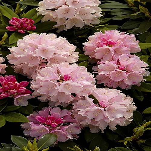 rhododendron-dreamland-1-shrub