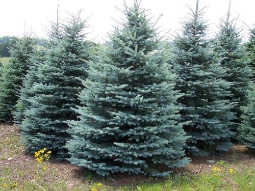 25 Colorado Blue Spruce, Picea pungens glauca, Tree Seeds EXCELLENT BONSAI SPECIMEN or Charismas Tree by Seed and Things (Spruce Tree Blue Colorado)