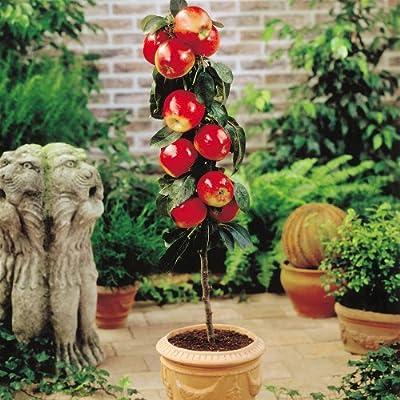 Zwerg Apfelbaum Red Spur von Meingartenshop bei Du und dein Garten