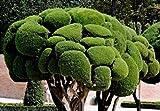 Cupressus sempervirens - Mittelmeer-Zypresse - Säulenzypresse - 20 Samen