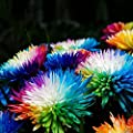UPSTONE Garten - Regenbogen Chrysantheme Selten Mehrjährig winterhart Stauden Gänseblümchensamen Mischung Bonsai Blumensamen Blumenmeer für Balkon von UPSTONE bei Du und dein Garten