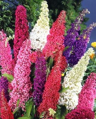 Sommerflieder Royal Red® rot blühend, 1 Pflanze von Amazon.de Pflanzenservice bei Du und dein Garten