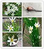 Green Seeds Co. 2Bulb Zephyranthes Candida (Zwiebel-Orchidee-Birne) einfaches Pflanzen, Balkon-Spaß Innen-Outdoo-Blumen-Topf-Anlage