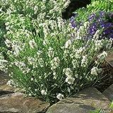 Lavendel 'Aromatica Silver' – Lavandula angustifolia - winterharte Pflanze im 3 Liter Container mit leuchtend silbrig-weißen Blüten als Busch - von Garten Schlüter - Pflanzen in Top Qualität