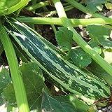 10 Samen Striato D'italia Zucchini – gestreifte Früchte, guter Ertrag