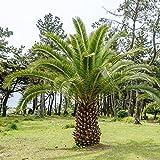 Isola Canaria Date Semi di palma - Phoenix canariensis