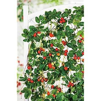 dominik blumen und pflanzen rankende erdbeeren erdbeer b umchen aromastar 5 st ck plus 1 paar. Black Bedroom Furniture Sets. Home Design Ideas