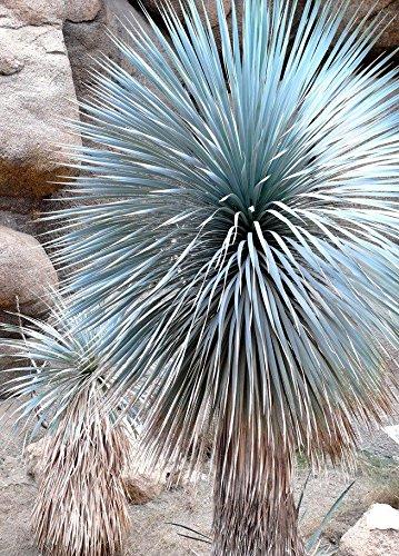 SCHNABEL Yucca, Yucca rostrata Big Bend Agave Garten Aloe Baum wie Samen Samen 50