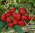 Erdbeere Hummi´s®-SENGANA®-Selektion Hz 25 Stück von Hummel - Erdbeeren auf Du und dein Garten