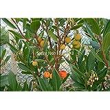100 PC / paquete Arbutus unedo Madroño Surinam árbol tropical y Bonsai Semillas semillas de frutas chinos para sana
