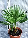 Brahea edulis - Guadalupepalme, verschiedene Größen (80-100cm - 5,4ltr.)