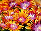 Delosperma Blüten 1000 Teile Puzzle quer (CALVENDO Natur)