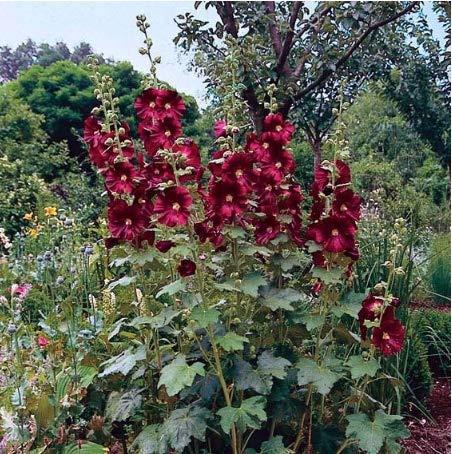 Beautytalk-Garten Stockrose Mischung(Hollyhock) Blumensamen winterhart mehrjährig Kräuterblüten Bio-Samen Pflanzen Saatgut für Balkon/Blumenbeet/Zäunen