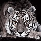 Eurographics DG-GLE1101 - Cristal con póster decorativo, diseño de tigre (30 x 30 cm), color blanco y negro