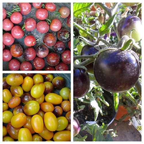 INDIGO Tomato SET, Indigo Rose, Cherry Drops, Kumquat, 60 g raines, NON GMO