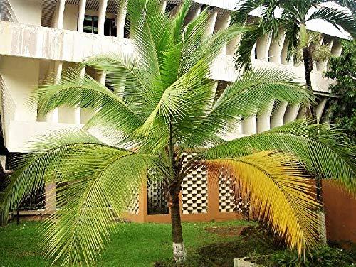 Portal Cool 20 Samen Kokosnuss-Baum-Samen Palm Samen Hausgarten-Dekor Pot Bonsai Samen