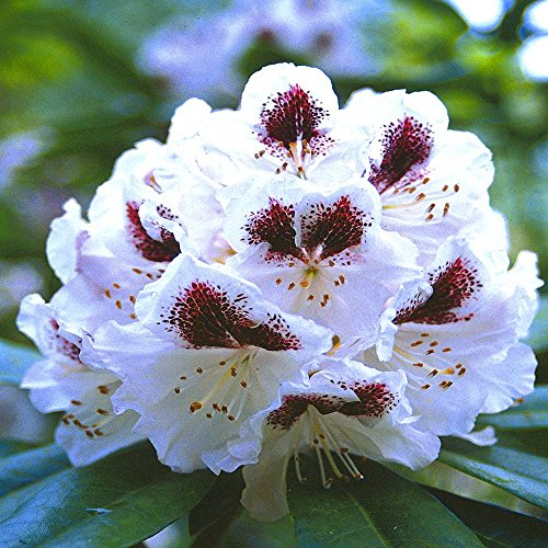rhododendron-sappho-1-arbrisseau