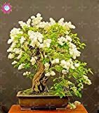 SwansGreen 100pcs Seltene Bonsai Weißen Flieder Seeds (Extremely Fragrant) mehrjährige Blume Nelke Samt Indoor-Anlage für den Garten zu Hause