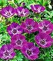 """Winterharte Geranie """"Jolly Jewel Lilac®"""",1 Knolle von Baldur-Garten - Du und dein Garten"""