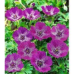"BALDUR-Garten Winterharte Geranie""Jolly Jewel Lilac®"", 1 Knolle Geranium"