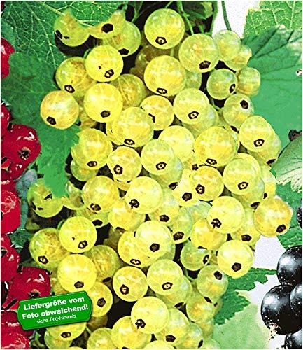 BALDUR-Garten Johannisbeeren 'Goldgelbe Versailler', 1 Strauch, Ribes sativa Johannisbeerstrauch Beerenobst winterhart