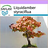 SAFLAX - Bonsai - Amerikanischer Amberbaum - 100 Samen - Liquidamber styraciflua