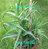 100pcs Gemüse und Fruchtsamen Samen Aloe vera essbare Schönheit Essbare Kosmetik Pflanzen Bonsai Samen für Haus & Garten 49% 3