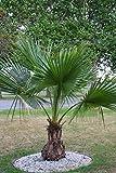 Seltene Jungpalme Palme Brahea edulis ca. 80-100 cm. Höhe Frostharte