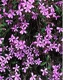 K-P173 Corbeille à savon Rose Saponaria Ocymoiides