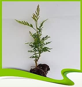 Grevillea robusta Pflanze australische Silbereiche
