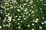 Asklepios-seeds® - 2000 Semi di Anthemis nobilis La camomilla romana