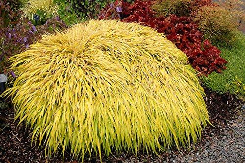 hakonechloa-macra-all-gold-ornamental-grass-plant-9cm-pot-free-delivery
