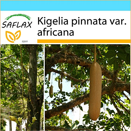 SAFLAX - Kit cadeau - Arbre à saucisses - 10 graines - Kigelia pinnata var. africana