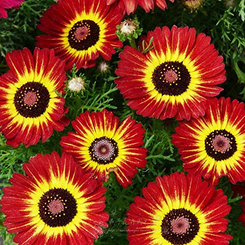 Pinkdose 100 Garland fleurs de chrysanthèmes plantes en pot et fleurs semis balcon saisons