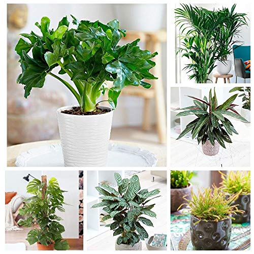 Portal Cool Obliqua: 100Pcs Green House Pflanzen Leicht Philodendron Samen Calathea Monstera Diy To Care
