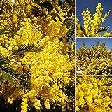 Qulista Samenhaus - Selten Baum Mimose Mimosenbaum blühend Blüten gelb Acacia dealbata 'Gaulois Astier' Baumsamen immergrün mehrjährig