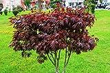 Roter Fächerahorn Samen, Japanische Ahorne 'Bloodgood' 5 Samen (Acer Palmatum)