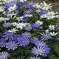Strahlenanemone Anemone Blanda Balkan in den Größen 50 / 100 / 200 Blumenzwiebeln von Peciborsc Pflanzenraritäten bei Du und dein Garten