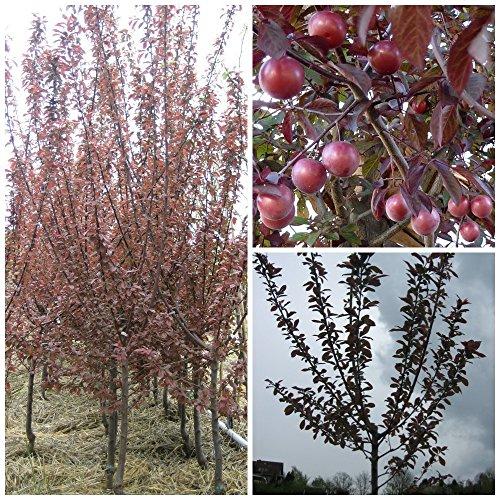 Rotlaubiges SET: Blutpflaume Hollywood und Zierapfel Royalty Apfelbaum und Pflaumenbaum 120-150 cm